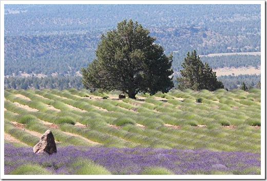 110710_Mt_Shasta_Lavender_Farm_64