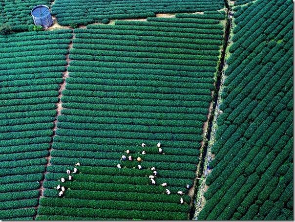 嘉義阿里山茶園