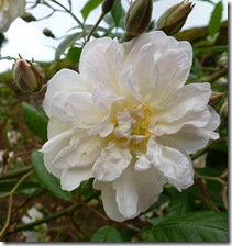 bhd cream rose