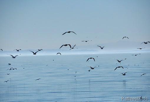24. gull salton sea-gusto