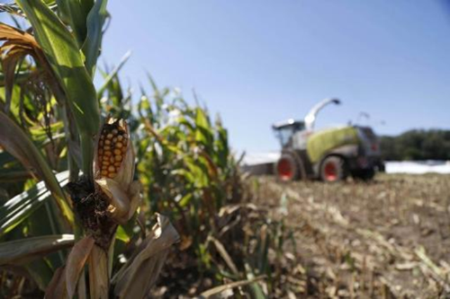 An underdeveloped cob of corn sits in a field at Sunburst Dairy, near Belleville, Wisconsin, amid a harsh drought, 6 September 2012. Photo: Darren Hauck / REUTERS