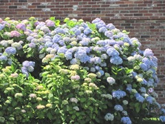 cape cod 6.12 hydrangeas big display