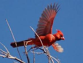Amazing Pictures of Animals,photo, Nature, exotic, funny, incredibel, Zoo, Northern Cardinal, (Cardinalis cardinalis), Bird, Aves, Alex (13)