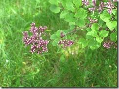 mini lilac1