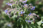 Borage has a similar taste to cucumber and was originally used as a garnish for the drink, Pimm's Cup.  Bees love borage and it's frequently planted alongside vegetables to increase pollination.