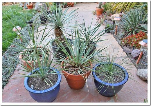 120226_Yucca-rostrata linearifolia_04