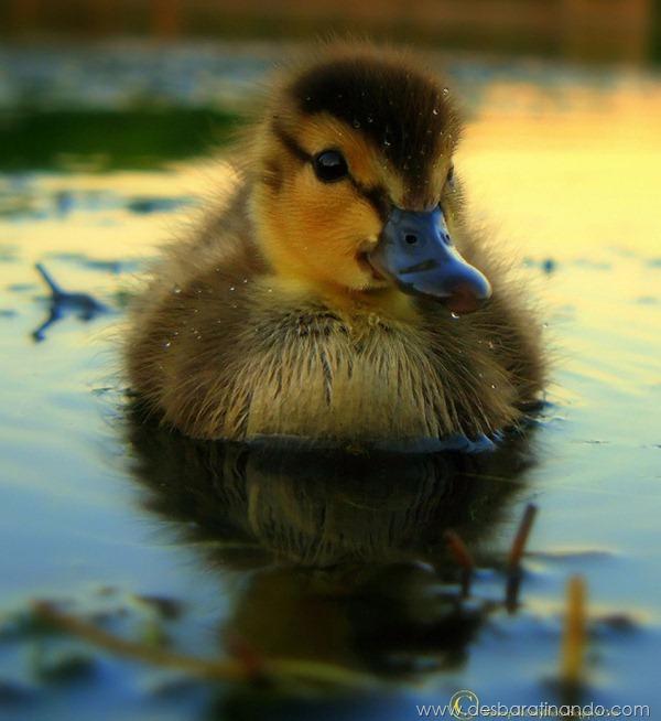 filhotes-patos-fofos-pequenos-desbaratinando (27)