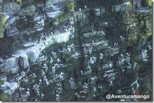 Ninhos de gaivotas nos Cliffs of Moher, Irlanda
