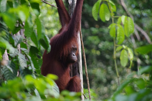 An adult female Orangutan swinging in to the feeding platform.