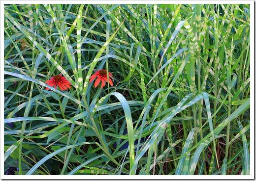120615_Echinacea-Hot-Papaya_05