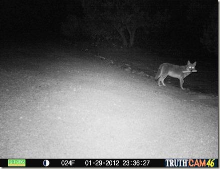Coyote_02