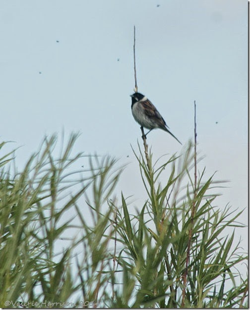17-reed-bunting