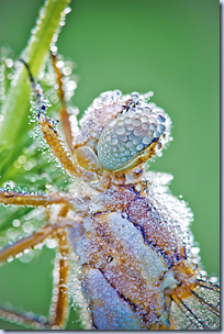 Dew-Covered Dragonflies