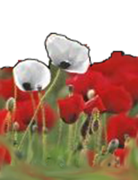 Flanders poppies - war and peace copy