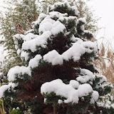 Conifères, attention au poids de la neige qui gèle