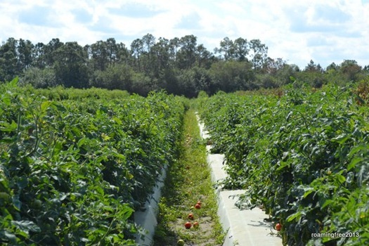 Long rows of tomato plants