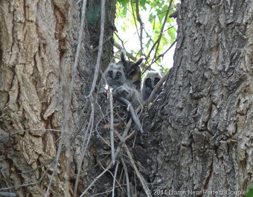 Long-eared Owl with 3 chicks