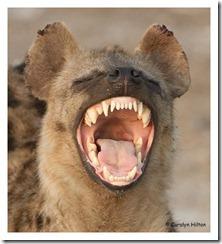 hyena-144