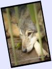 Wolf.Tears