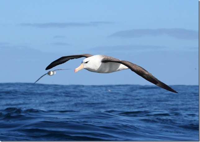 black-browed_albatross3