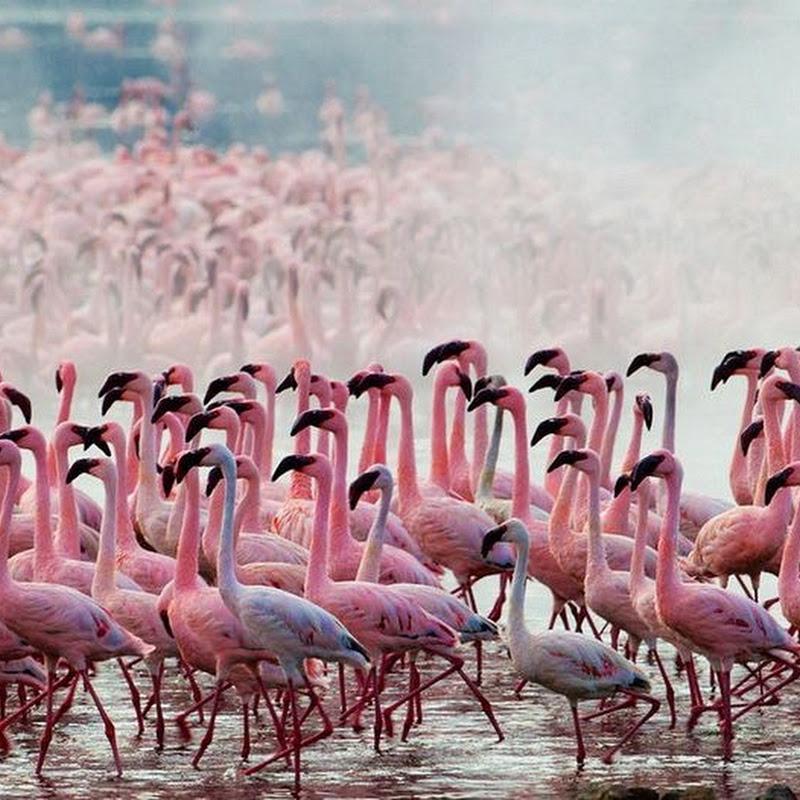 Thousands of Pink Flamingos at Lake Nakuru, Kenya