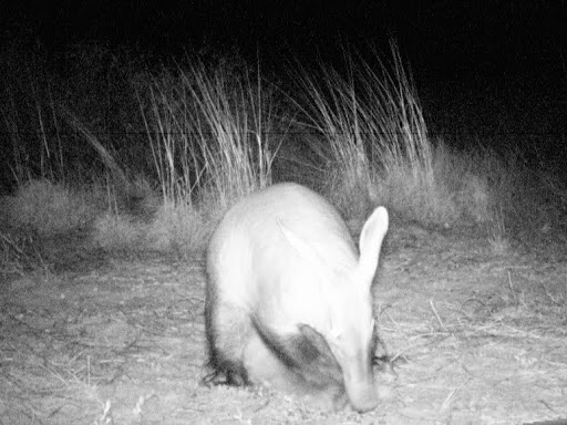 Cdy%2525200052%252520aardvark