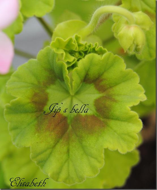 Pelargonium april 2012 025