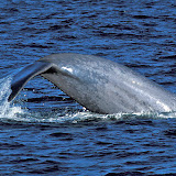 Blue whale