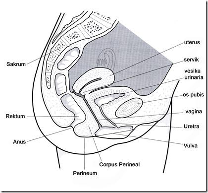 Pelvic Organ