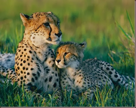 Amazing Animal Pictures Cheetah (8)