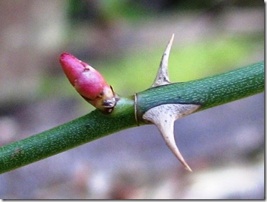 20130304 Metre rose bud and thorn