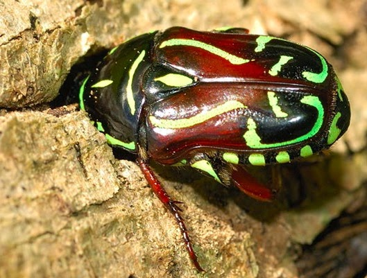 Amazing Pictures of Animals, Photo, Nature, Incredibel, Funny, Zoo, Eupoecila australasiae, fiddler beetle or rose chafer, Insecta, Alex (24)