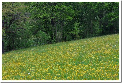 120506_dandelion_field_14