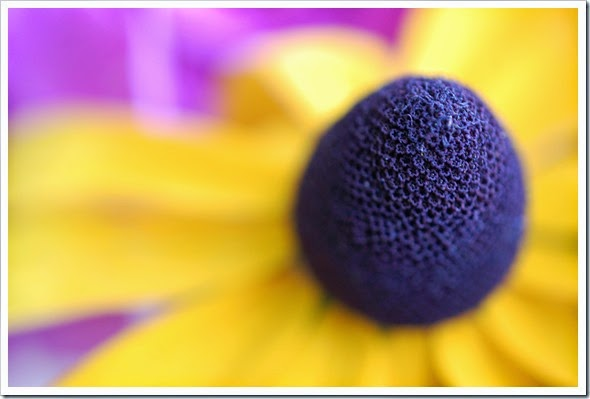 black eyed susan closeup