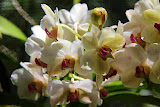 Orchid At The Garden of the Sleeping Giant - Port Denarau, Fiji