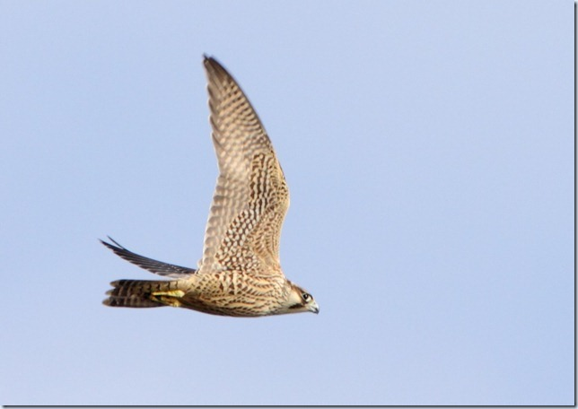 peregrine