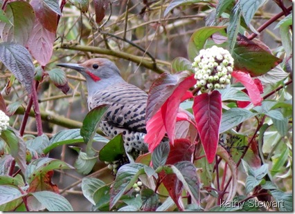 Northern Flicker in Red Osier Dogwood