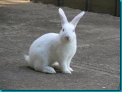 white-rabbit-1