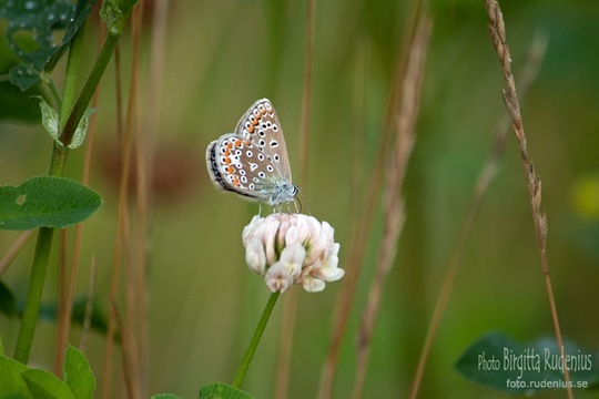 butterfly_20110730_brown3