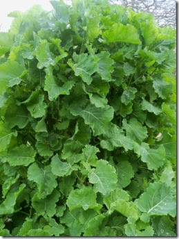 daubentons kale plant