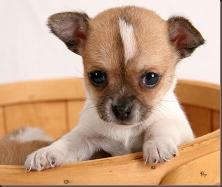 Amazing Animals Pictures Chihuahua (8)