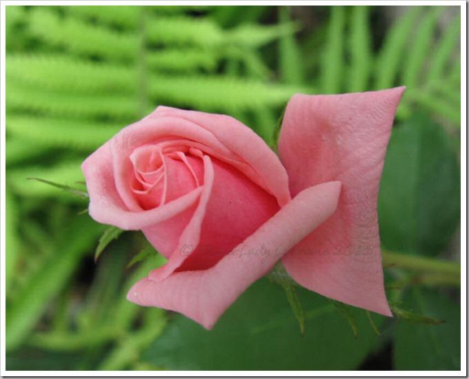 04-29-unkn-rose2