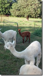 White Violet Baby Alpaca