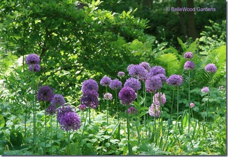 BelleWood Gardens_2009-05_Allium Purple Sensation-2