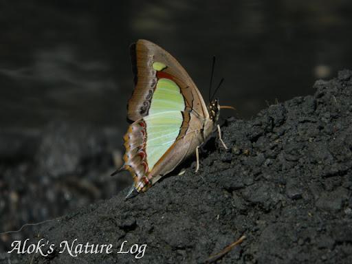 Nymphalidae%25252c%252520polyura%252520athamas%25252c%252520common%252520nawab