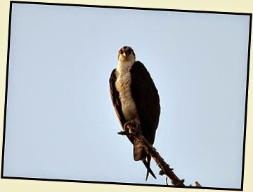 Osprey Stare-down