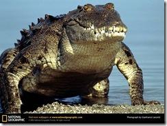 american-crocodile-emerging-water