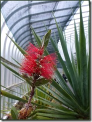 glasgow botanics  bottle brush
