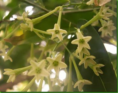 Dama da Noite flowers (5)