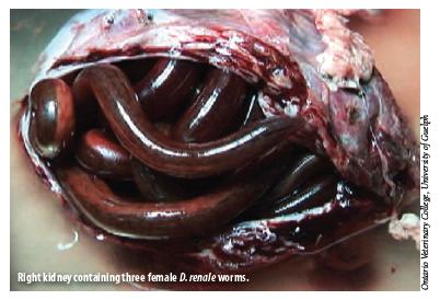 parasitos en cachorros